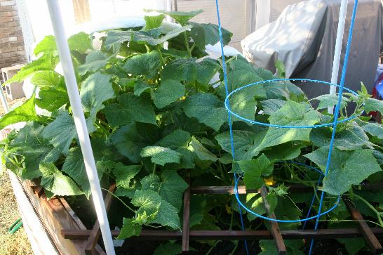 ChickandBee-gardenharvest3